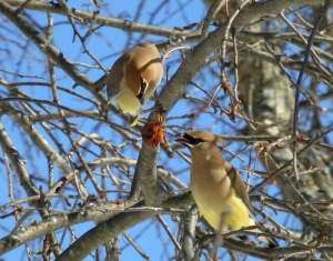 two waxwings sharing apple 2-7-14 photo by Pamm Cooper