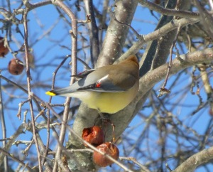waxwing showing wing tips 2-7-14 UConn campus photo Pamm Cooper