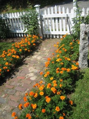 Marigolds - Durango Orange