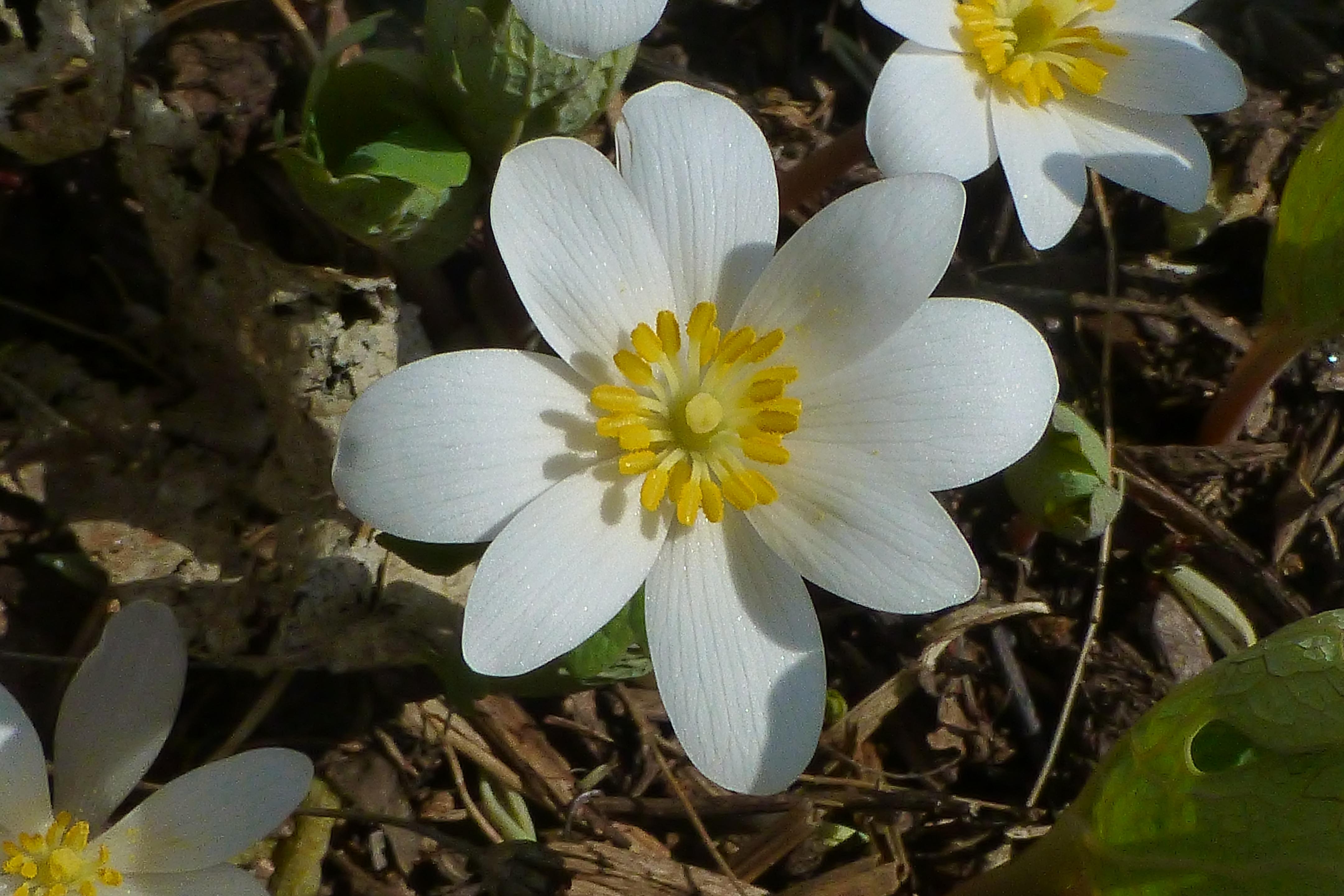 Spring Wildflowers Uconnladybugs Blog