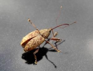 acorn weevil 2009