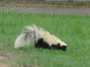 Easterm striped skunk looking for food