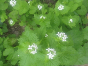 Garlic mustard produces many flowers which result in many seeds.