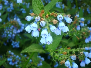 Comfrey flower, photo by C. Quish
