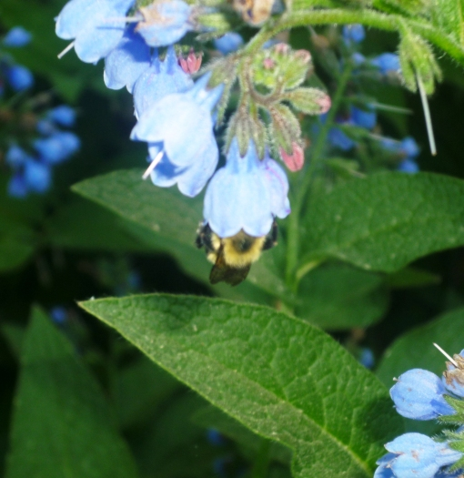 Bee feasting inside comfrey flower. photo, C.Quish