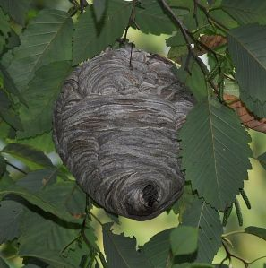 Typical nest in a tree. Photo from en.wikipedia.org