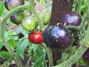 Blue tomatoes not exposed to full sunlight ripen red, although usually this is just seen on the bottom.