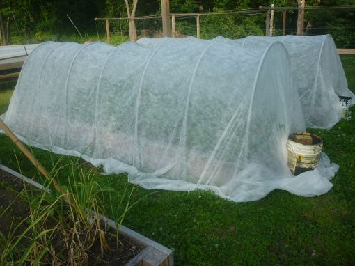Row cover protecting squash from insects reaching the plant. C.Quish photo
