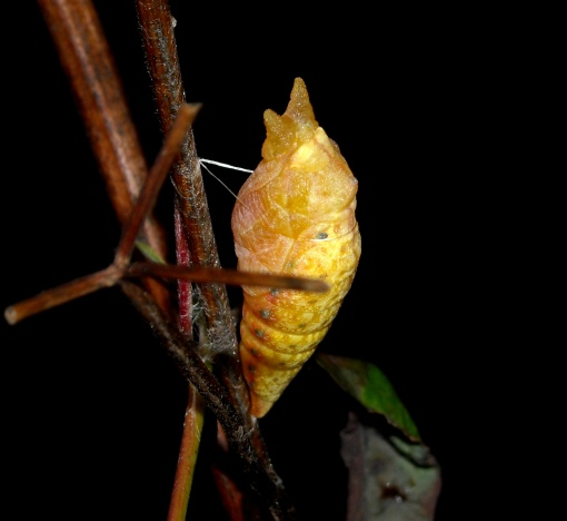 spicebush pupating