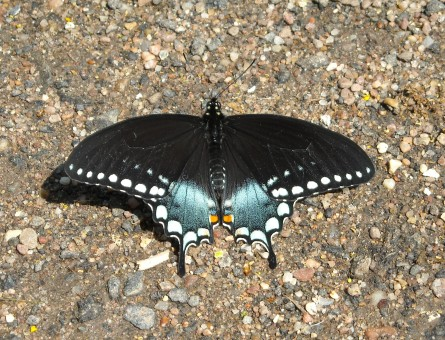 spicebush swallowtail MAy 11 2009