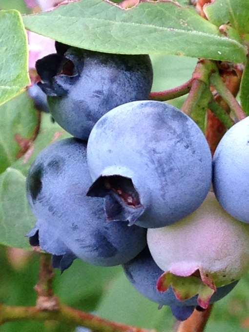 Late ripening blueberry variety keeps the fruit season coming. Photo Carol Quish