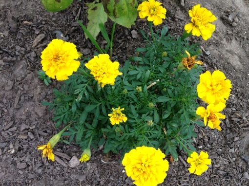 Every garden needs some blooming flowers. Keep up with dead heading to the the flowers coming. Photo Carol Quish