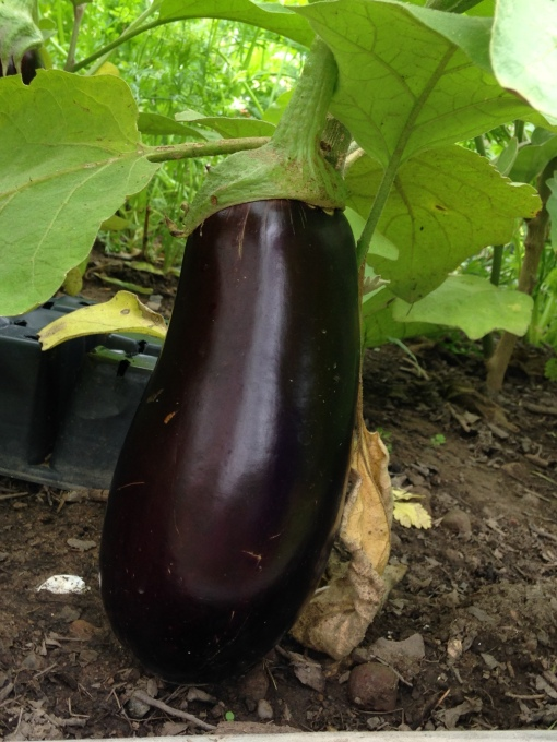 Eggplant ready to be picked. photo by Carol Quish