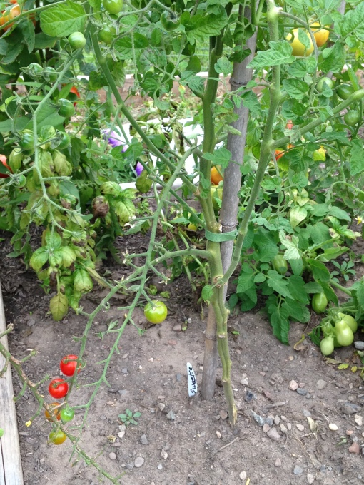 Sweetie Cherry Tomato plant with brown leaves stripped off of the bottom of the plant to reduce fungal spores in the tomato bed. photo Carol Quish