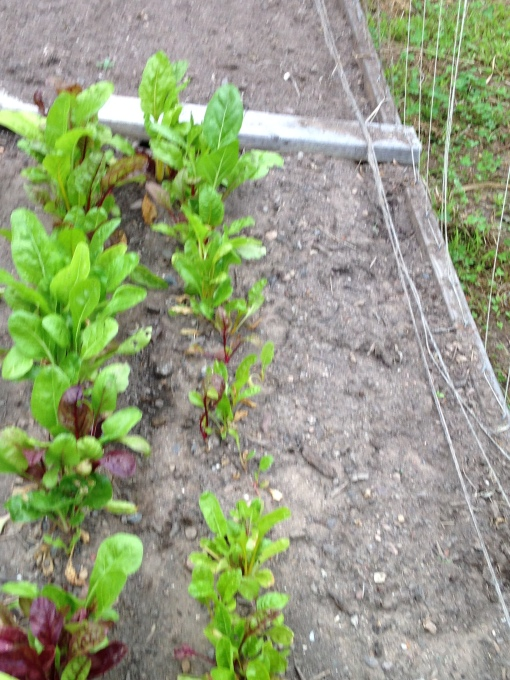 Peas plants have been removed making room for Bright Lights Swiss Chard to grow. Photo Carol Quish