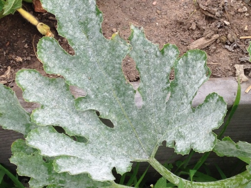 Zucchini leave attacked by powdery mildew. I should remove this so the unaffected plants might be protected. Photo Carol Quish