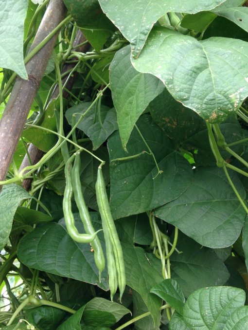 Pole Green Beans are in need of picking! Photo Carol Quish
