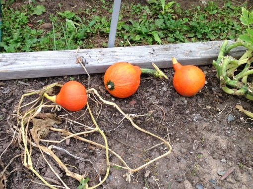 Red Kuri Winter Squash pitiful harvest. Vines were killed by the Squash Vine Borer. Photo Carol Quish