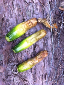 Young zucchini aborted due to poor pollination. J. Allen photo.