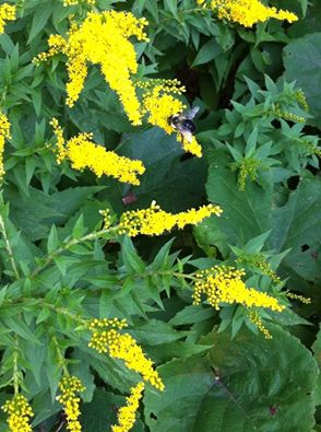 Bumblebee foraging on goldenrod flowers. J. Allen photo.