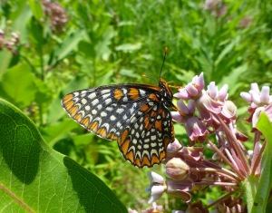 Baltimore Checkerspot at Belding WMA July 6, 2014