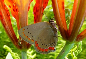 coral hairstreak on wood lily Mt Rd 7-18-14II