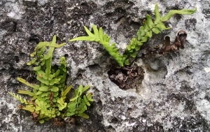 Ferns growing in the limestone at Fort Fincastle