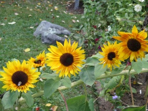 Sunflowers grow out on a limb!