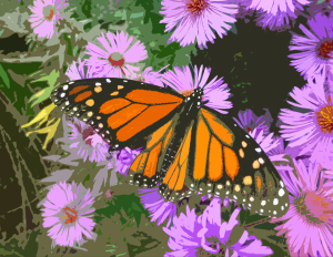 monarch on aster