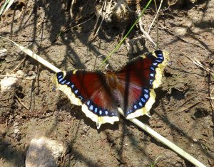 Mourning cloak July 11, 2014 Mt RD