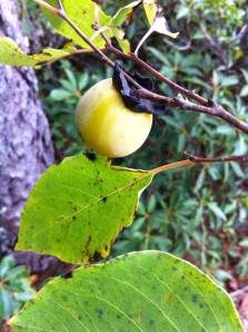 Persimmon fruit and leaves. J. Allen photo.