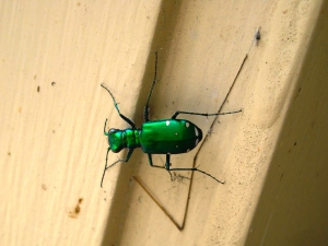6-Spotted tiger beetle showing metallic iridescent green