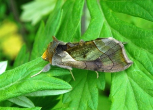 Hologram moth with green patches