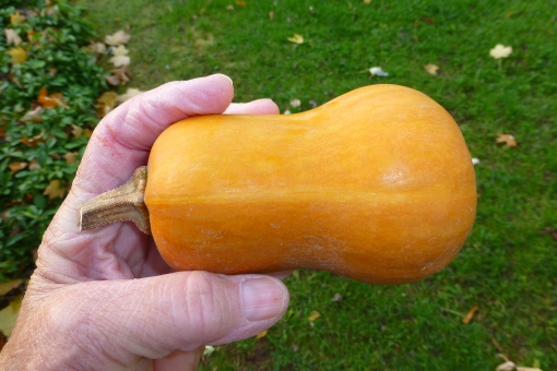 Honey Nut Butternut Squash, A new find! P.Cooper photo