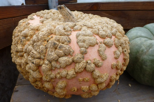 Peanut Pumpkin aka Galeux d'Eysines. P.Cooper photo