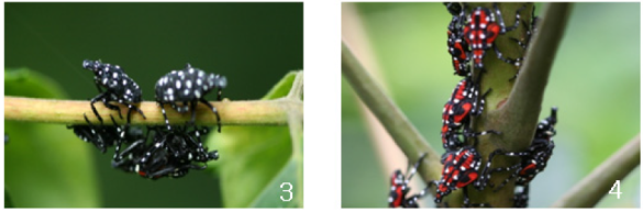 First stage nymphs (left) and later stage with red areas. Park etal. photo