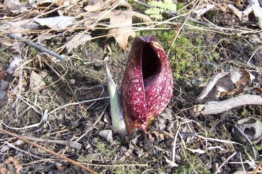 A skunk cabbage spathe. SAPelton photo