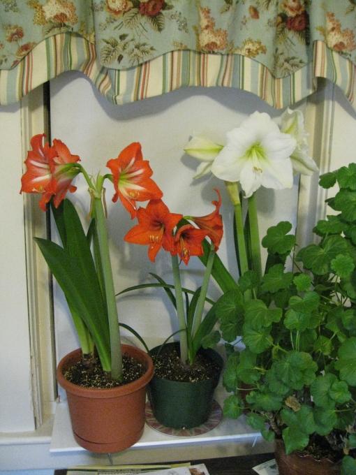 Lovely trumpet blooms of amaryllis