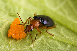 Carabid beetle Lebia grandis are voracious predators of Colorado potato beetle eggs and larvae. photo by Peggy Greb, extension.psu.edu