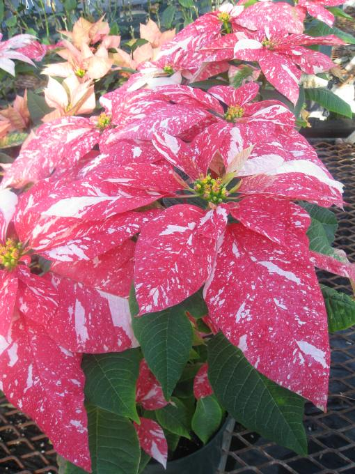 Christmas Confetti Poinsettia bred by Bob Shabot, UConn