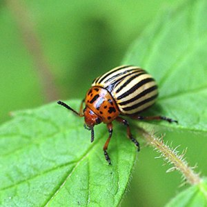 Pest - Colorado Potato Beetle Adult, www.uwm.edu