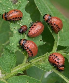 Colorado potato beetle larvae, www.agriculture.purdue.edu larvae