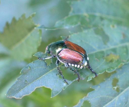Pest - Japanese Beetle Adult