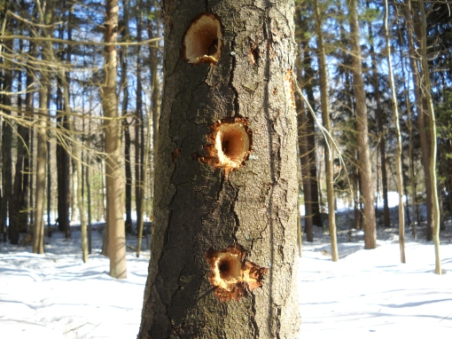 Signs of recent Pileated Woodpecker activity