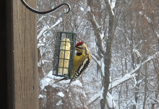 Yellow- bellied sapsucker on suet during a blizzard
