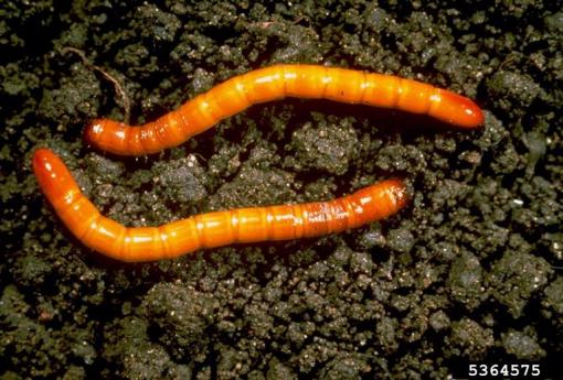 Pest - Wireworms, maine.gov