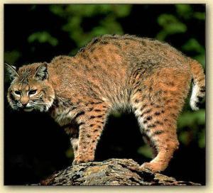 Bobcat, cis.fiu.edu