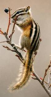 Chipmunk, fcps.edu photo