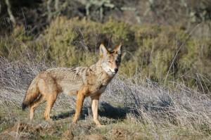 Coyote, amos.indiana.edu