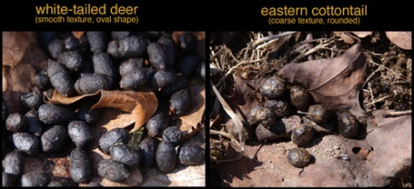 deer and rabbit scat, photo from biokids.umich.edu